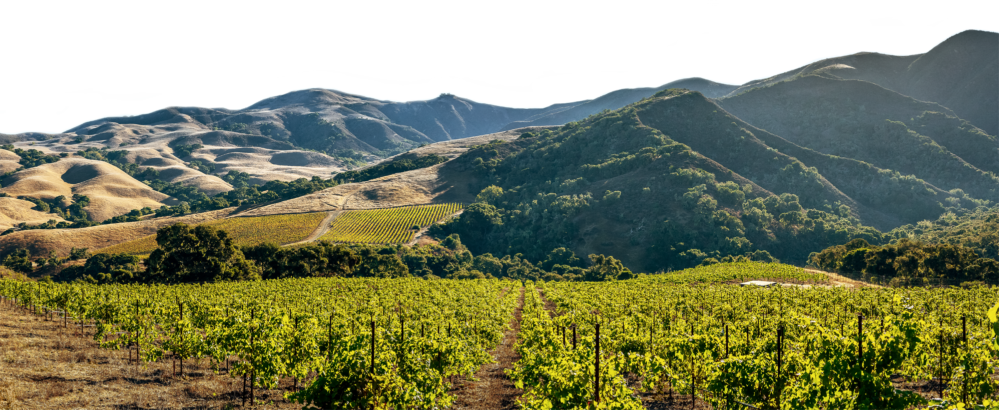 Vineyard and mountain range